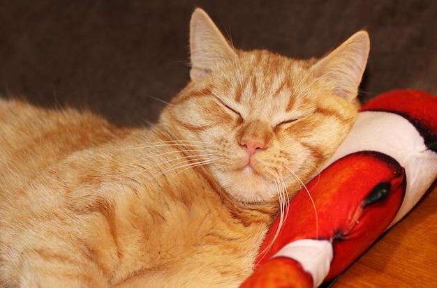 Giovane gatto domestico dai capelli rossi che dorme dolcemente sul suo cuscino, formato orizzontale, primo piano