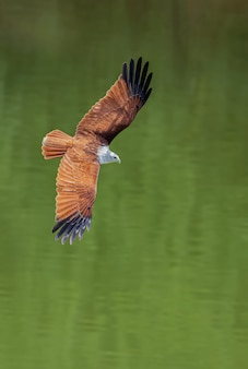Il falco rosso sta volando per il cibo