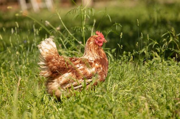 Gallina ovaiola testarossa libera in un campo di erba