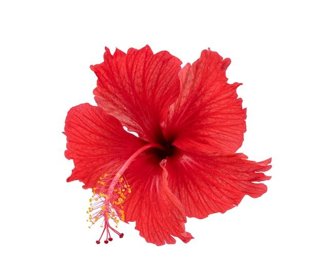 Ibisco rosso isolato su sfondo bianco