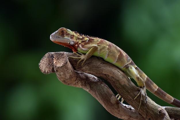 Iguana rossa sul ramo di un albero