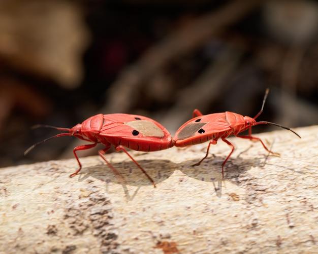 Gli insetti rossi si riproducono sui rami da vicino