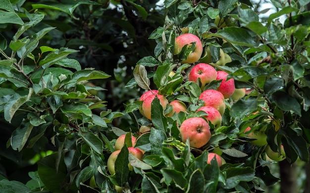 Le mele mature succose rosse crescono su un ramo tra il fogliame verde dopo la pioggia