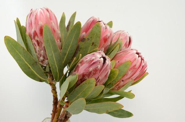 Pianta rossa del protea di re su fondo bianco