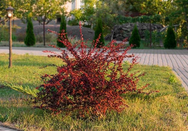 Cespuglio di crespino a foglia rossa in giardino