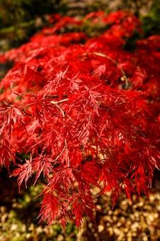 Foglie rosse sui cespugli in una giornata di sole