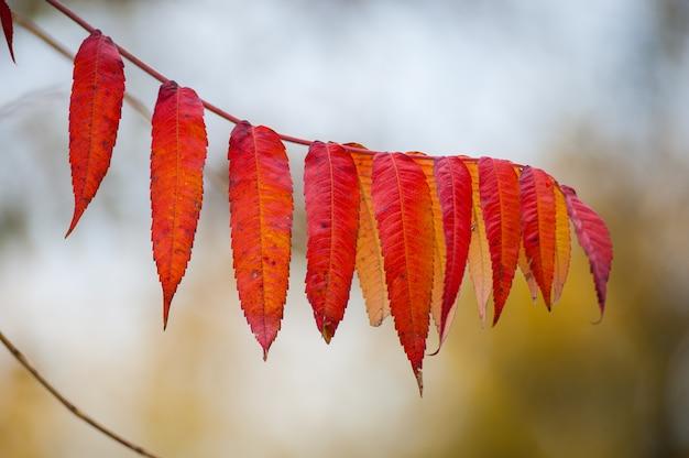 Le foglie rosse si chiudono su allo stato brado. ramo delle foglie rosse dell'uva di autunno. fogliame di parthenocissus quinquefolia. isolato su sfondo bianco
