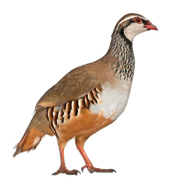 Pernice rossa o pernice francese, alectoris rufa, un uccello della famiglia dei fagiani, in piedi di fronte a una superficie bianca