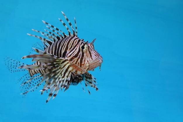 Il pesce leone rosso in acqua su sfondo blu
