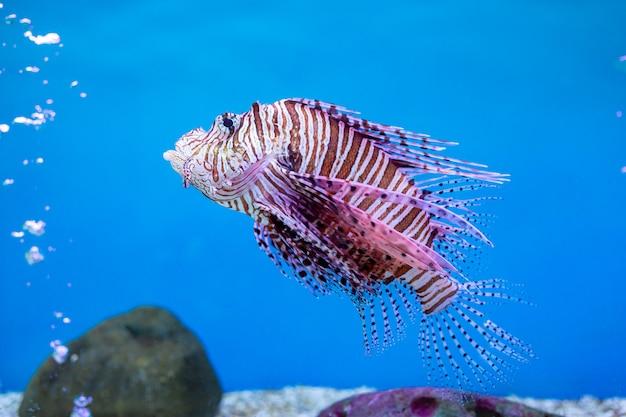Lionfish rosso - uno dei pesci pericolosi della barriera corallina all'oceano della tailandia