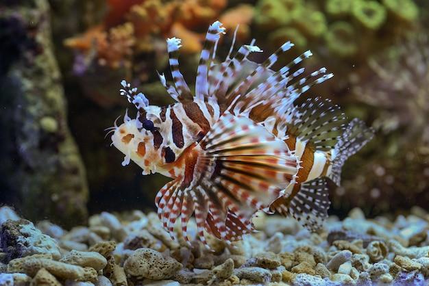 Leone rosso che nuota nella barriera corallina