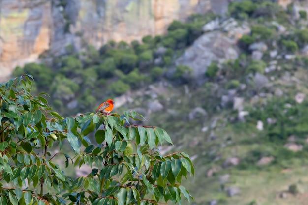 Piccolo uccello rosso rosso su un ramo