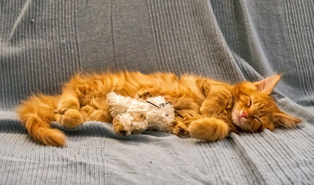 Red main coon kitten in un ambiente domestico