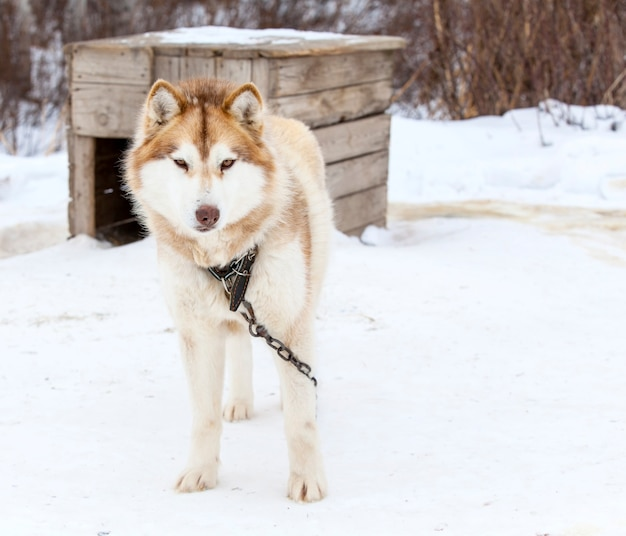 Red malamute in vivaio per cani in inverno