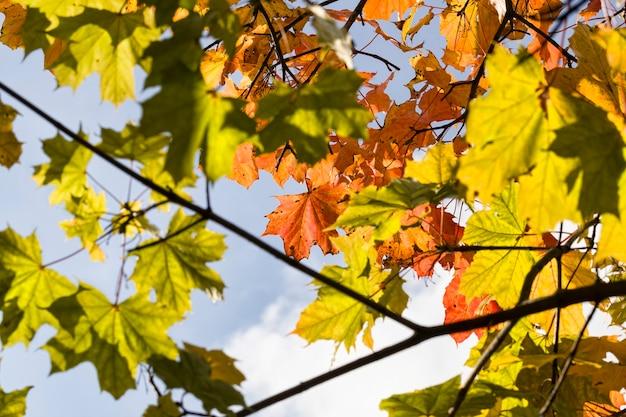 Fogliame di acero rosso nella stagione autunnale, vera natura autunnale nel pomeriggio
