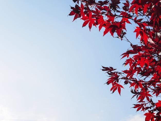 Foglie d'acero rosse contro un cielo blu opaco, guardando in alto. concetto di autunno.