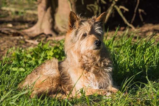Il cane di razza mista rossa sfugge al caldo all'ombra sull'erba verde