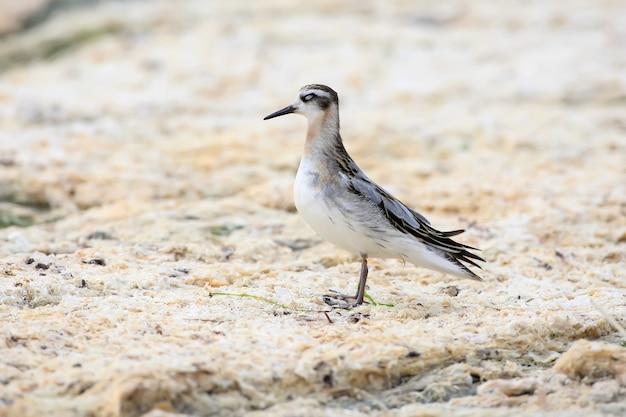 Il falaropo dal collo rosso (phalaropus lobatus) si trova sulla riva dell'estuario su erba di mare secca