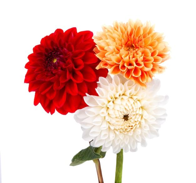 La dalia rossa, arancio e bianca fiorisce con le foglie isolate su bianco