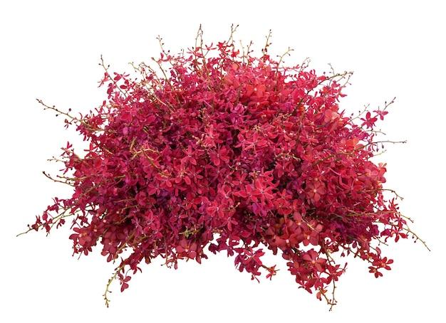 Disposizione dei fiori dell'orchidea rossa su bianco