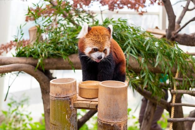 Un panda rosso che mangia cibo su un albero