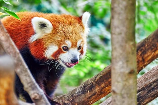 Panda rosso nel suo habitat naturale della natura.
