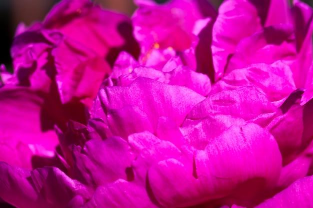 Peonie rosse in fiore d'estate, piante fiorite per decorare il territorio