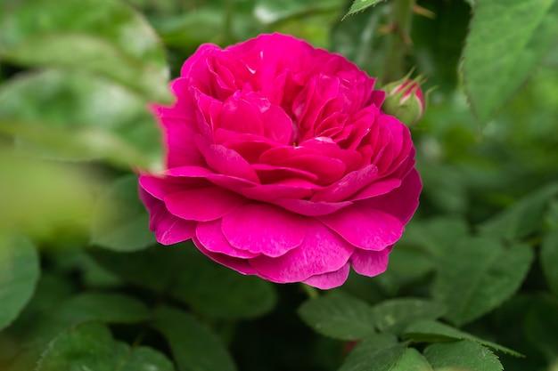 Peonie rosse nel giardino primo piano di bella messa a fuoco selettiva di peonia rosa, vista dall'alto