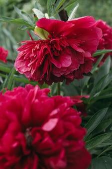 Fiore rosso della peonia, primo piano con il fuoco selettivo. bellissimo fiore di peonia per catalogo o negozio online.