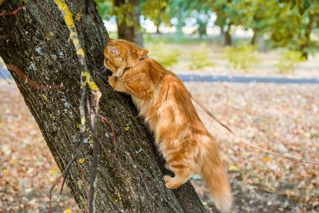 Gatto persiano rosso che si arrampica e si siede sull'albero