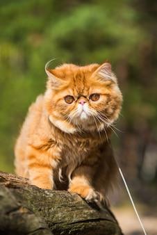 Il gatto persiano rosso è seduto sulla spiaggia del mar baltico