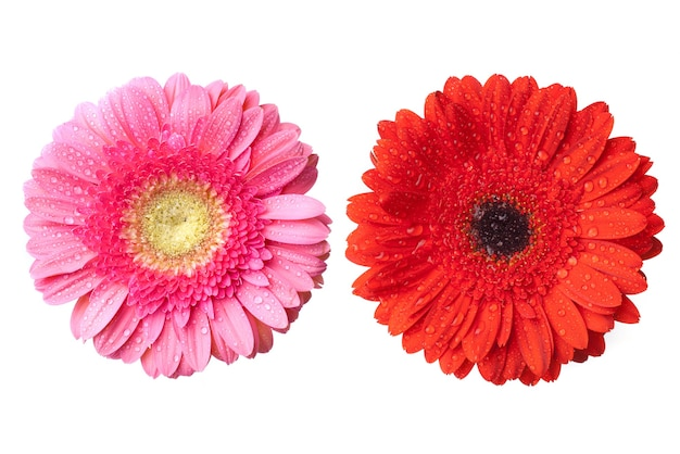 Teste rosse e rosa della margherita-gerbera con gocce d'acqua isolate su bianco