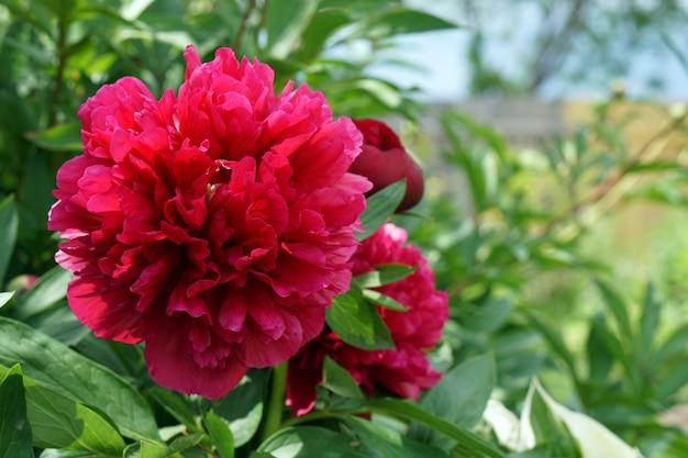 Brunch di fioritura dei fiori del pione rosso in giardino