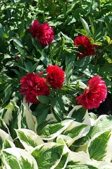 Brunch di fioritura dei fiori del pione rosso e hosta verde dei leves in giardino