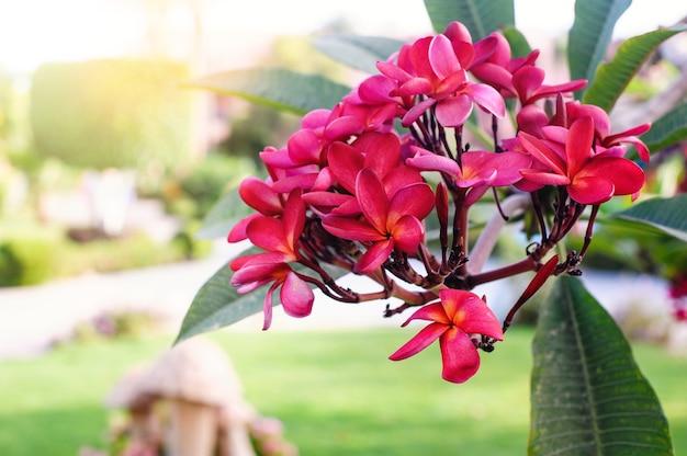 Plumeria rossa o fiori di frangipani sull'albero nel parco estivo.