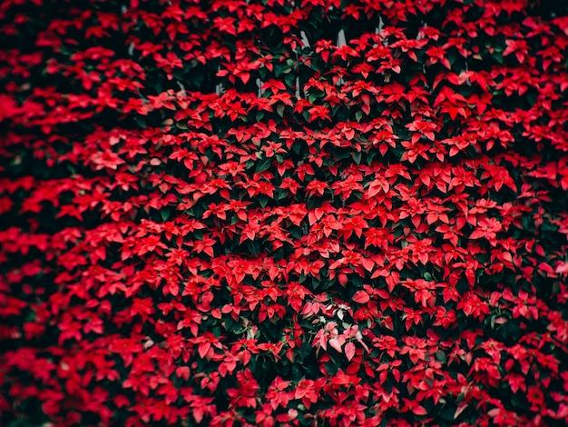Fiore rosso di natale del poinsettia nel giardino