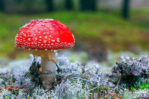 Fungo velenoso rosso dell'agarico di mosca nella foresta