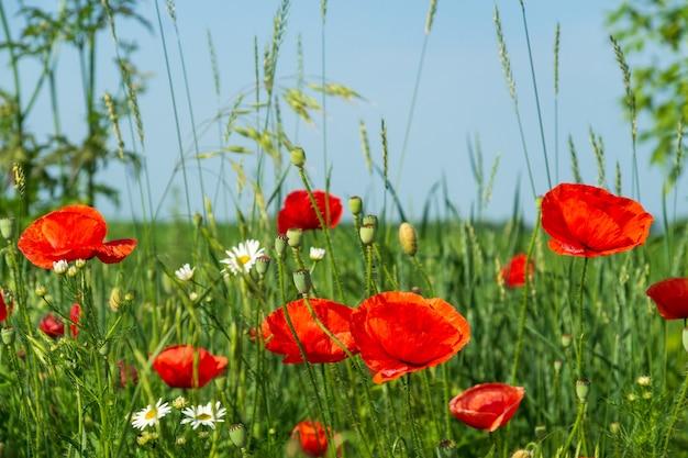 Papaveri rossi e camomille con erba verde nel prato. fiori di prato di fiori di campo estivi su uno sfondo di cielo blu.