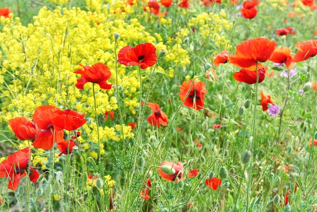 Papaveri rossi su un campo con erba verde e fiori gialli