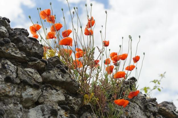 Papaveri rossi su un vecchio muro di pietra sullo sfondo del cielo, all'aperto, in orizzontale
