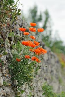 Papaveri rossi su un vecchio muro di pietra, estate, all'aperto, verticale