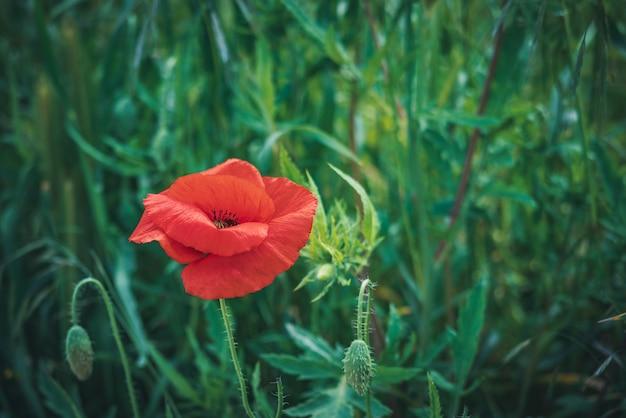 Fiore e germogli rossi del papavero in un campo verde