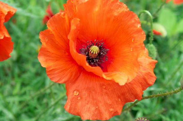 Fiore rosso del papavero un giorno soleggiato