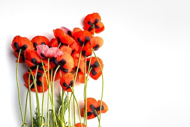 Fiore di papavero rosso su sfondo bianco. copia spazio.