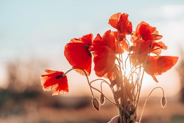 I fiori rossi del papavero sbocciano sul campo selvaggio. bellissimi papaveri rossi di campo con il fuoco selettivo. radura dei papaveri rossi.