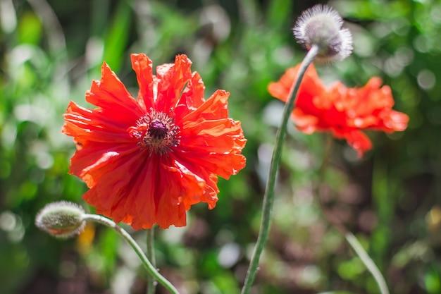 Fiori di papavero rosso su uno sfondo di vegetazione sfocata