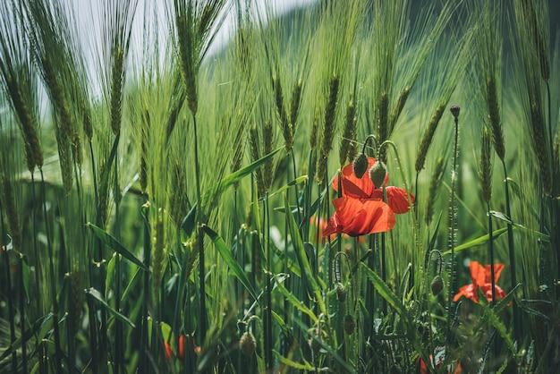 Fiori di papavero rosso e boccioli verdi tra spighe di grano