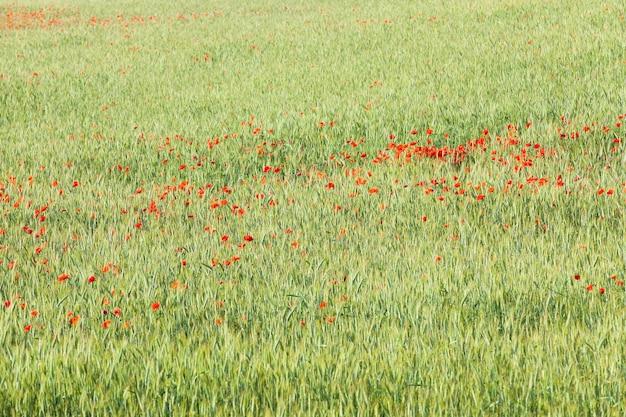 Fiori del papavero rosso - primo piano fotografato dei fiori del papavero rosso che crescono nel campo. estate Foto Premium