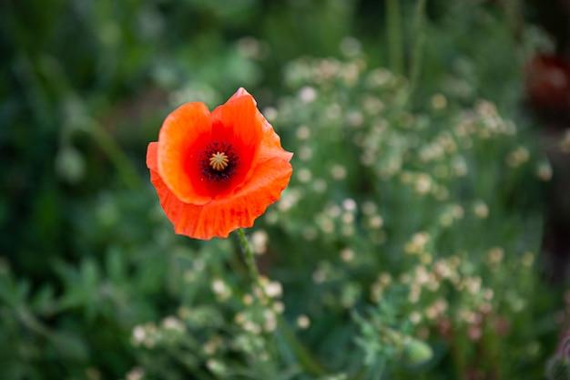 Papavero rosso nell'erba in primavera, immagine con messa a fuoco selettiva