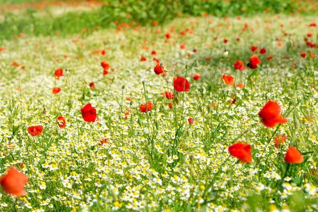 Papavero rosso su un prato con molte margherite bianche o camomilla e fiordaliso alla luce del sole dorata, sfondo di fiori selvatici in abbondanza con spazio per le copie, messa a fuoco selezionata, profondità di campo ridotta.